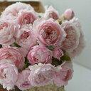 シュクレ(大苗予約)7号鉢植え  バラ苗 四季咲き中輪房咲き系(フロリバンダローズ)スプレー咲き 河本バラ園 Kawamoto Brand Roses