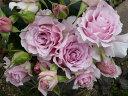 バラ苗:ラ・マリエ(大苗予約) 7号鉢植え  四季咲き中輪房咲き系(フロリバンダローズ)スプレー咲き 河本バラ園 Kawamoto Brand Roses