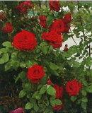 吊的赫ash(二年生国产大苗预约)7号盆栽仙鹤玫瑰[つるヘルツ アス(二年生国産大苗予約)7号鉢植え つるバラ]