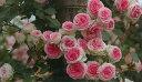 つるミミエデン(大苗予約)7号鉢植え つるバラ バラ苗