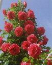 ツル.うらら(大苗)7号鉢植え つるバラ  バラ苗
