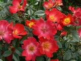 カクテル(二年生国産大苗)7号鉢植え つるバラ バラ苗