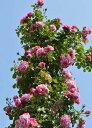 フランボワーズ バニーユ(大苗)7号鉢植え つるバラ バラ苗