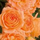 サンセット・メモリー(大苗)7号鉢植え つるバラ バラ苗