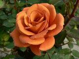 つるテディベアー(二年生国産大苗)7号鉢植え つるバラ バラ苗 10P10Jan15