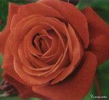 テラコッタ(二年生国産大苗)7号鉢植え つるバラ バラ苗