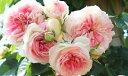 アミ・ロマンティカ(大苗予約)7号鉢植え つるバラ バラ苗