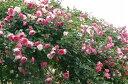 パレード(大苗)7号鉢植え つるバラ バラ苗