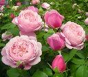 シャンテ・ロゼ・ミサト (大苗)7号鉢植え デルバール(Delbard) フレンチローズ 四季咲き バラ苗