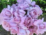 ローズ・シネルジック(旧名:エモーション・ブルー)(大苗)7号鉢植え デルバール(Delbard) フレンチローズ 四季咲き バラ苗 10P08Feb15