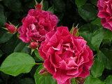 ギー・サヴォワ(大苗)7号鉢植え デルバール(Delbard) フレンチローズ 四季咲き バラ苗