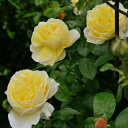 ソレイユ・ヴァルティカル(大苗予約)7号鉢植え デルバール(Delbard) フレンチローズ 四季咲き バラ苗