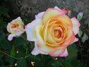【バラ苗 デルバール Delbard】ミツコ(二年生国産大苗)7号鉢植え