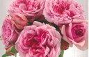 ローズ・ポンパドゥール(大苗予約)7号鉢植え デルバール(Delbard) フレンチローズ 四季咲き バラ苗