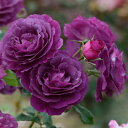 バラ苗:ミステリューズ(大苗予約)7号鉢植え 返り咲き Mysterieuse ドリュ Dorieux