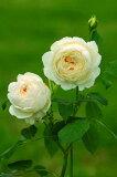 クレア・オースチン(大苗)7号鉢植え イングリッシュローズ(デビッド・オースチンローズ) つるバラ バラ苗 P25Jan15