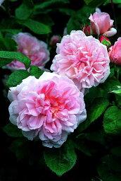 エグランタイン(別名:マサコ)(大苗)7号鉢植え イングリッシュローズ(デビッド・オースチンローズ) つるバラ バラ苗