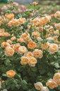 ロアルド・ダール(大苗予約)7号鉢植え イングリッシュローズ(デビッド・オースチンローズ) バラ苗