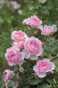 ジ・エンシェント・マリナー(大苗予約) 7号鉢植え イングリッシュローズ(デビッド・オースチンローズ) バラ苗