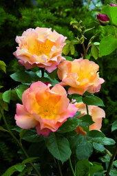 ファイティング・テメレア(大苗)《2011年新品種》 7号鉢植え イングリッシュローズ(デビッド・オースチンローズ) バラ苗