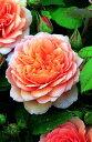 【バラ苗 イングリッシュローズ】グレイス(二年生国産大苗)7号鉢植え イングリッシュローズ(デビッド・オースチンローズ) バラ苗【RCP】