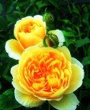 グラハム・トーマス(大苗)7号鉢植え イングリッシュローズ(デビッド・オースチンローズ) つるバラ バラ苗 殿堂入り