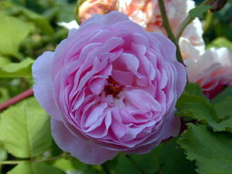 メイヤー・オブ・キャスターブリッジ(大苗)7号鉢植え イングリッシュローズ(デビッド・オースチンローズ) つるバラ バラ苗