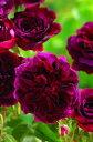ムンステッド・ウッド(大苗)7号鉢植え  イングリッシュローズ(デビッド・オースチンローズ) バラ苗
