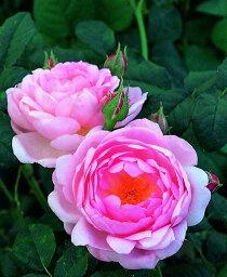 セプタード・アイル(大苗)7号鉢植え イングリッシュローズ(デビッド・オースチンローズ) バラ苗