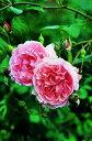 【バラ苗 イングリッシュローズ】ストロベリーヒル(二年生国産大苗)7号鉢植え
