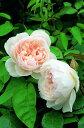 ザ ジェネラスガーデナー(大苗)7号鉢植え イングリッシュローズ(デビッド オースチンローズ) つるバラ バラ苗