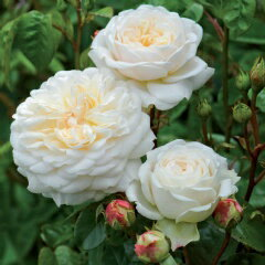 トランクウィリティー(大苗)《2012年新品種》7号鉢植え イングリッシュローズ(デビッド・オースチンローズ) バラ苗