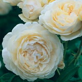 ウインダミア(大苗)7号鉢植え《2009年新品種》 イングリッシュローズ(デビッド・オースチンローズ) バラ苗
