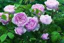 ウィズレー2008(大苗)7号鉢植え イングリッシュローズ(デビッド・オースチンローズ) バラ苗