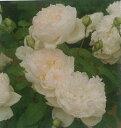 ボレロ(大苗予約)7号鉢植え バラ苗 四季咲き中輪房咲き系(フロリバンダローズ)
