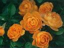 ハニーキャラメル(大苗)7号鉢植え  四季咲き中輪房咲き系(フロリバンダローズ)スプレー咲き バラ苗