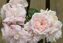 ロザリー・ラ・モリエール(大苗) 7号鉢植え 四季咲き中輪房咲き系(フロリバンダローズ)スプレー咲き バラ苗