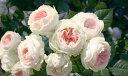 パシュミナ(大苗予約)7号鉢植え  四季咲き中輪房咲き系(フロリバンダローズ)スプレー咲き バラ苗