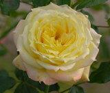 トロピカルシャーベット(大苗)7号鉢植え  四季咲き中輪房咲き系(フロリバンダローズ)スプレー咲き バラ苗 P25Jan15