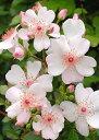 ピンク・サクリーナ(大苗予約)7号鉢植え 修景バラ バラ苗