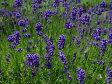 ラベンダー・濃紫早咲3号(イングリッシュ系) ハーブ苗 05P29Aug16