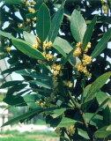 ローリエ (月桂樹) ベイリーフ ハーブ苗 15cmポット