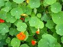 【ハーブ苗  お料理用 ガーデニング用】ナスタチウム 赤・黄・オレンジ3本セット