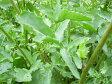 ルッコラ(ロケットサラダ) ハーブ苗 料理用ハーブ ベビーリーフ向き 05P29Aug16