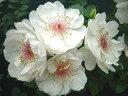 ジャクリーヌ・デュ・プレ(大苗予約)7号鉢植え  四季咲き大輪系(ハイブリッドティーローズ) バラ苗