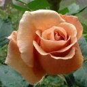 ジュリア(大苗)7号鉢植え  四季咲き大輪系(ハイブリッドティーローズ) バラ苗
