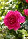 王妃マリー・アントワネット(大苗)7号鉢植え バラ苗 四季咲き大輪系(ハイブリッドティーローズ)