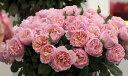 プリンセス・シャルレーヌ・ドゥ・モナコ(大苗)7号鉢植え  四季咲き大輪系(ハイブリッドティーローズ) バラ苗
