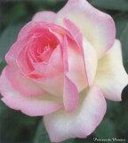 プリンセス・ドゥ・モナコ(大苗)7号鉢植え  四季咲き大輪系(ハイブリッドティーローズ) バラ苗 10P08Feb15