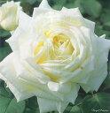 ロイヤル・プリンセス(大苗予約)7号鉢植え  四季咲き大輪系(ハイブリッドティーローズ) バラ苗